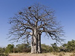 National Tree in Angola - to represent expat interview with an American in Angola