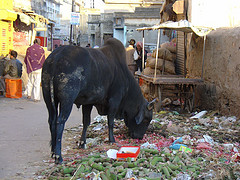 culture shock in India - cows everywhere