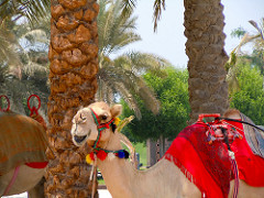 Abu Dhabi Camel - what's on in Abu Dhabi for expats to enjoy